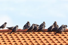 Jackdaws on the rooftop Royalty Free Stock Images