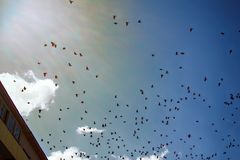 Jackdaws and rooks swarming in sky above city. Rooks and Jackdaws swarming in sky above city. Dominance of dirty and noisy corvids in neighborhood of human stock photography