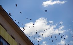 Jackdaws and rooks swarming in sky above city. Rooks and Jackdaws swarming in sky above city. Dominance of dirty and noisy corvids in neighborhood of human stock photo