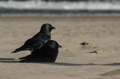 JACKDAWS ON THE SEA BEACH Royalty Free Stock Image