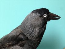 Jackdaws  side view close up, beak open, with pale eye looking straight at you Royalty Free Stock Images