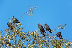 Jackdaws sitting in a birch tree Stock Images