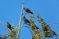 Jackdaws sitting in a tree Stock Photos