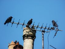 Jackdaws on television aeriel with chimney Stock Photos
