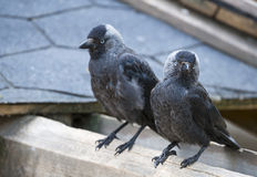 Jackdaws Stock Photography
