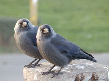 Jackdaws Royalty Free Stock Image