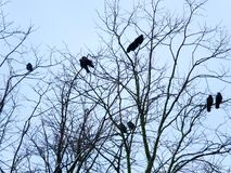 Jackdays садилось на насест в чуть-чуть ветвях дерева зимы Стоковые Фотографии RF
