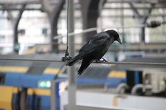 Jackdew on the electriciy wires in trainstation Rotterdam Central in the Netherlands, waiting for food on the platform.  Royalty Free Stock Image