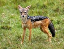 Jackel che si leva in piedi sulle pianure africane Fotografia Stock