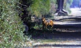 Jackel en bosque Imagen de archivo