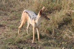 Jackel in the Masai Mara Stock Photo