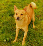 Jackeranian. A tan coloured Pomeranian x Jack Russell terrier face on Royalty Free Stock Image