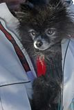 Jacket dog. Thiscute little dog was tucked inside a guys jacket Stock Photography