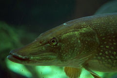 Jackfish. A jackfish in a clod water aquarium Stock Photos