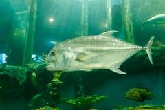 Jackfish de poissons de Trevally sous l'eau dans l'aquarium image stock
