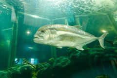 Jackfish del pesce di Trevally sotto acqua in acquario Fotografie Stock Libere da Diritti