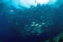 Jackfish at Sipadan Island,Borneo,Malaysia Stock Photography