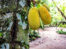 jackfruit δέντρο Στοκ Εικόνα