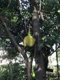 Jackfruit ή δέντρο του Jack Στοκ Φωτογραφία