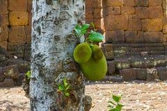 jackfruit δέντρο Στοκ εικόνες με δικαίωμα ελεύθερης χρήσης