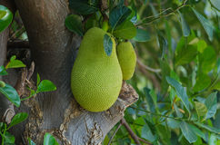 jackfruit σε ένα δέντρο Στοκ Φωτογραφία