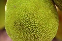 Jackfruit στο δέντρο κλείστε επάνω σύσταση Στοκ Φωτογραφία