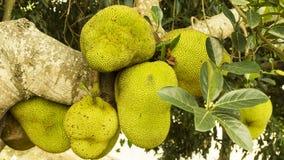 Jackfruit στο δέντρο Στοκ Εικόνες