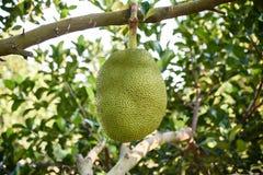 Jackfruit στο δέντρο στοκ εικόνα