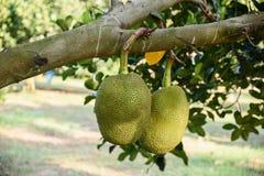 Jackfruit στο δέντρο στοκ εικόνα με δικαίωμα ελεύθερης χρήσης