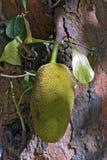 Jackfruit στο δέντρο Στοκ φωτογραφίες με δικαίωμα ελεύθερης χρήσης
