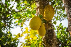 Jackfruit στο δέντρο στον κήπο Στοκ εικόνα με δικαίωμα ελεύθερης χρήσης