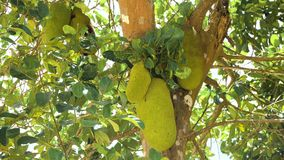 Jackfruit στο δέντρο Στοκ φωτογραφία με δικαίωμα ελεύθερης χρήσης