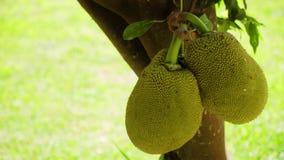 Jackfruit στο δέντρο απόθεμα βίντεο