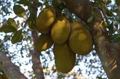 Jackfruit του γλυκού Στοκ Εικόνα