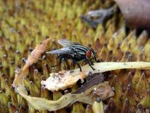 jackfruit мухы Стоковые Фото