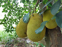 Jackfruit на вале Стоковое фото RF