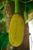 jackfruit Таиланд Стоковая Фотография RF