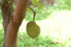 Jackfruit Imagenes de archivo