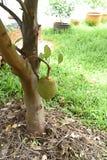 Jackfruit Imagen de archivo