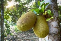 Jackfruit Stockfoto