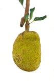 Jackfruit Fotografia Stock Libera da Diritti