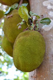 Jackfruit. A tree branch full of jack fruits , jackfruit hanging on the tree Stock Photography