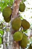 Jackfruit Immagine Stock Libera da Diritti