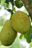 Jackfruit Fotos de Stock Royalty Free