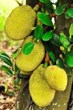 jackfruit Στοκ Φωτογραφία