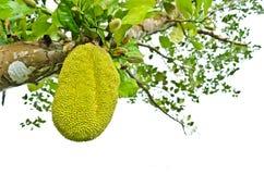 Jackfruit. Green Jackfruit on the tree, Thai fruit Stock Photos