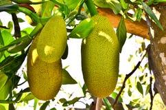 Jackfruit Zdjęcie Stock