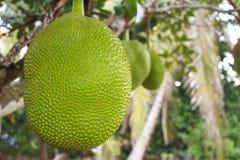 Jackfruit Fotografering för Bildbyråer