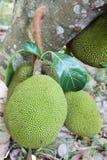 Jackfruit Royaltyfria Foton