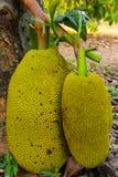 Jackfruit Στοκ Εικόνα